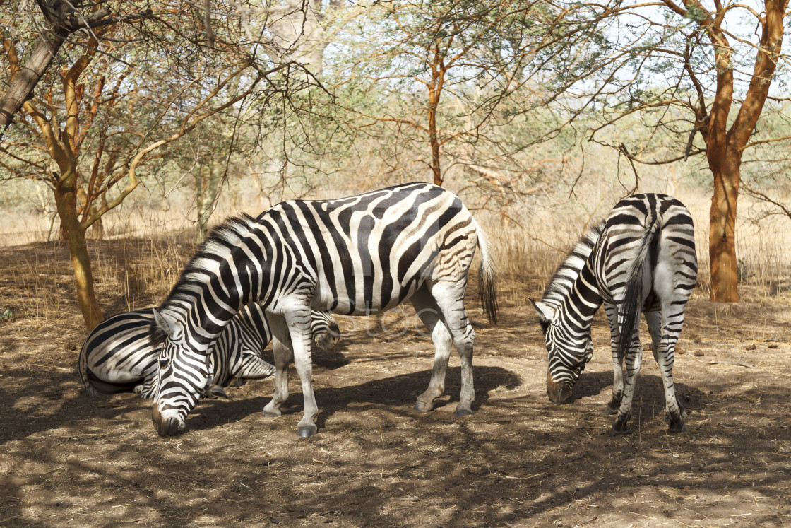 """Zebras grazing in Senegal"" stock image"