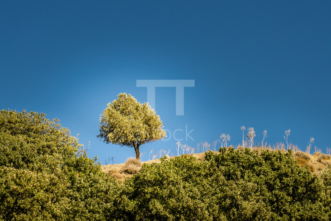 """One olive tree"" stock image"