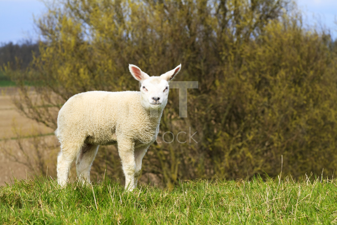 """Cute little lamb"" stock image"