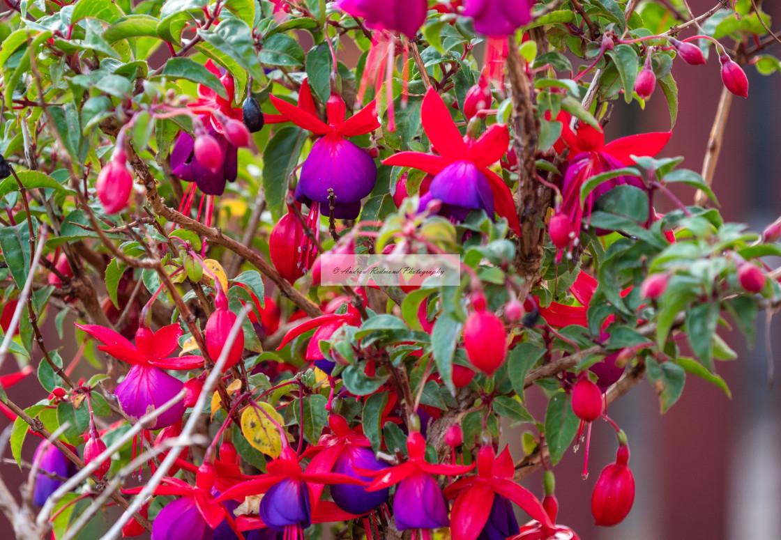 """Fuchsia Bush"" stock image"