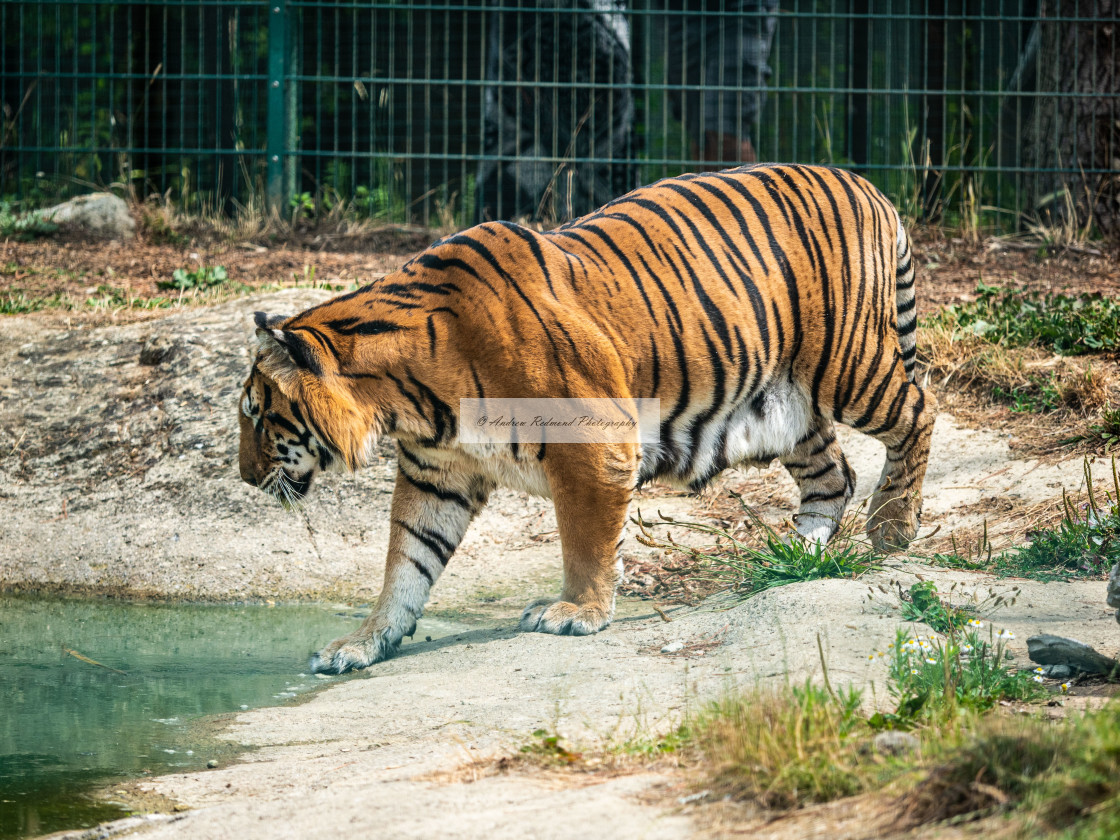 """Girondo the Tiger"" stock image"