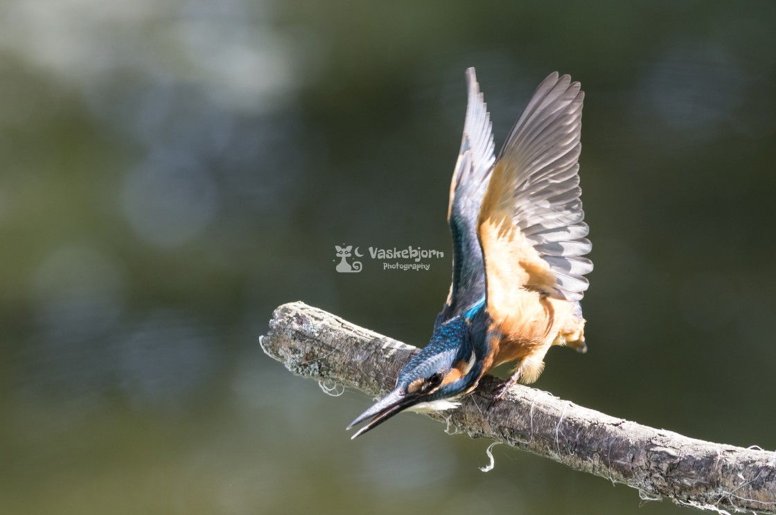 """""""King fisher"""" stock image"""