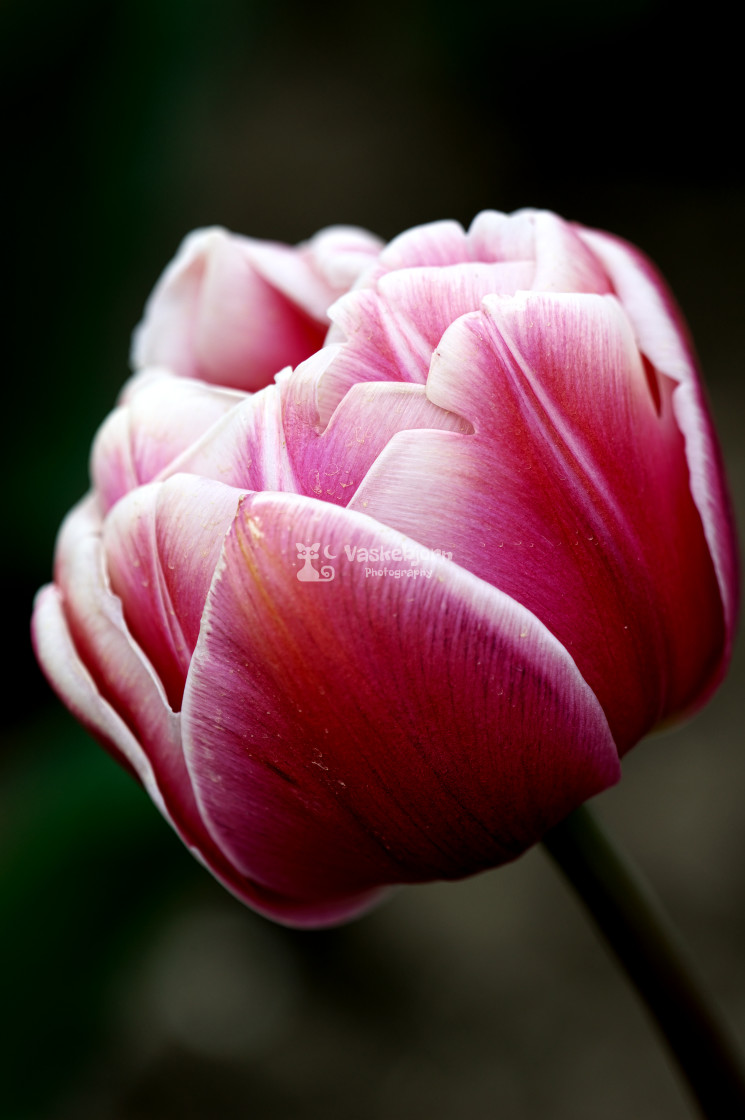 """""""Tulips from .... Almere"""" stock image"""