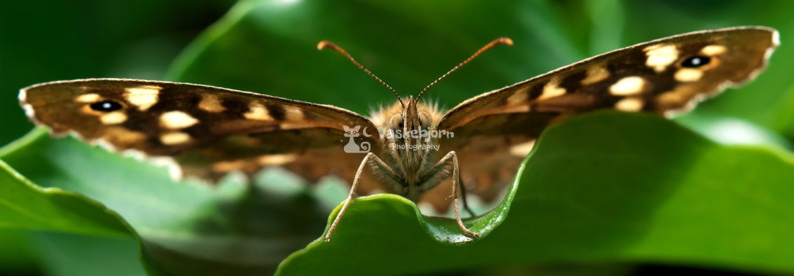 """""""Canary Speckled Wood"""" stock image"""