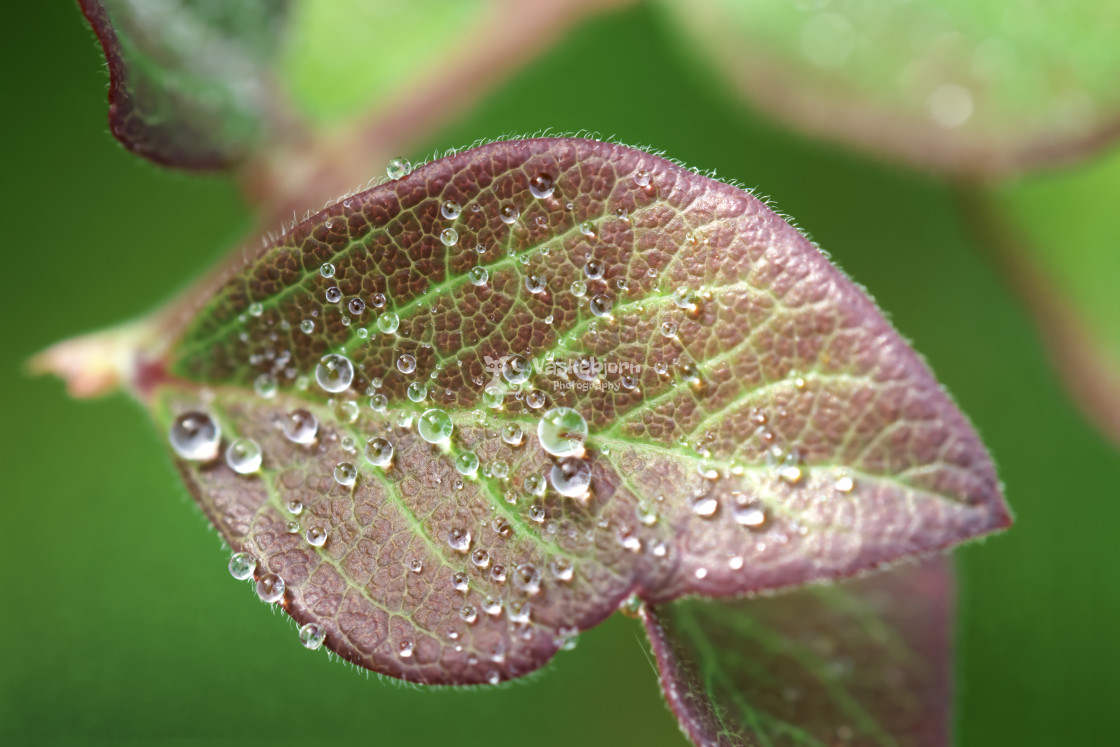 """""""Morning dew times 9"""" stock image"""