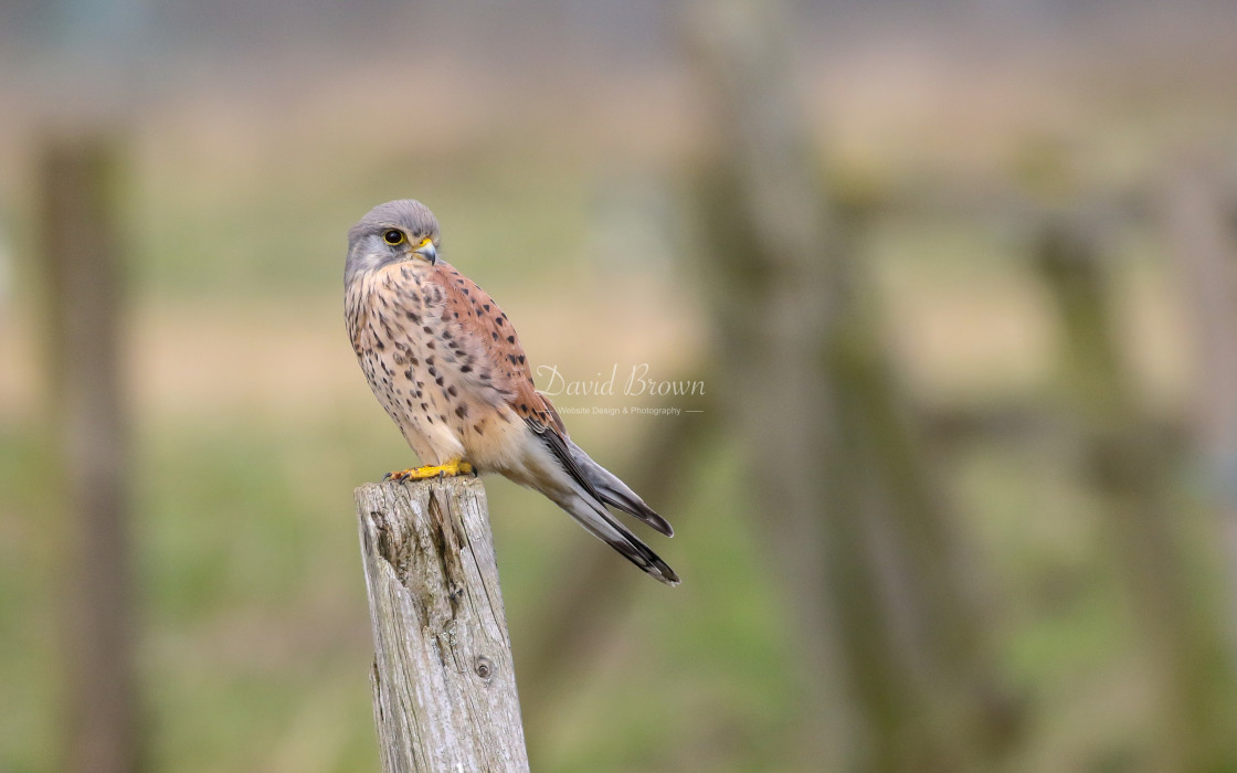 """Common Kestrel"" stock image"