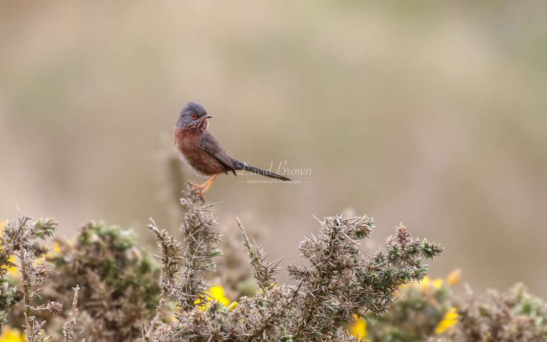 """Dartford Warbler"" stock image"