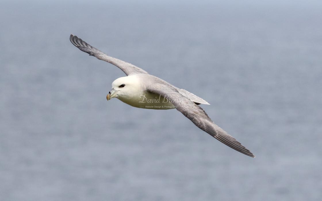"""Fulmar in flight"" stock image"