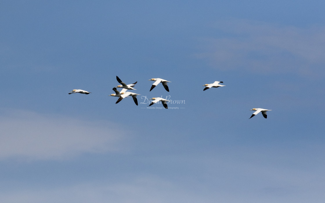 """Gannets in flight"" stock image"