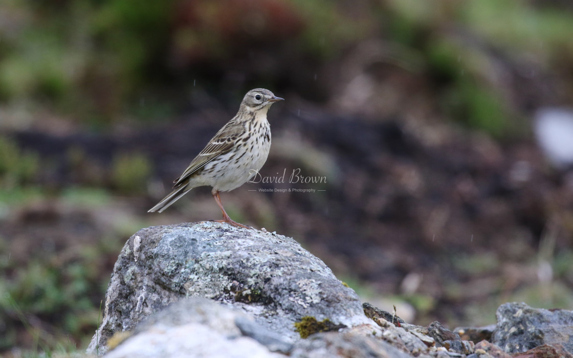 """""""Meadow Pipit"""" stock image"""