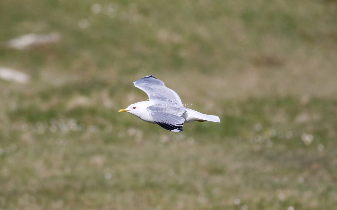 """Common Gull"" stock image"