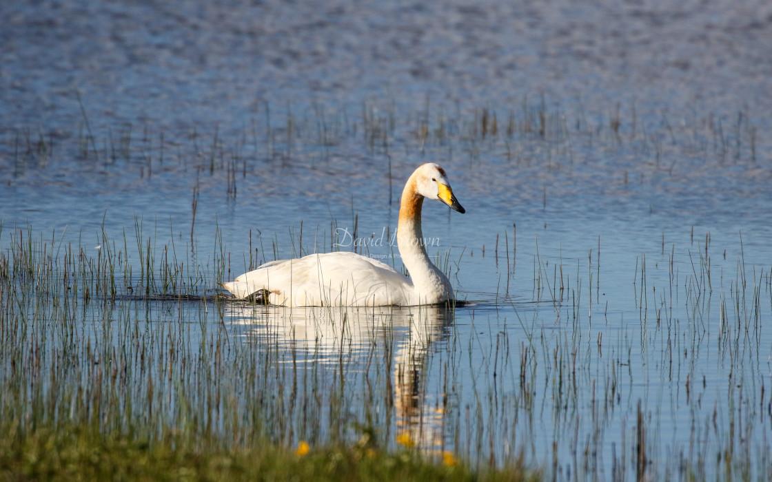 """Whooper Swan"" stock image"