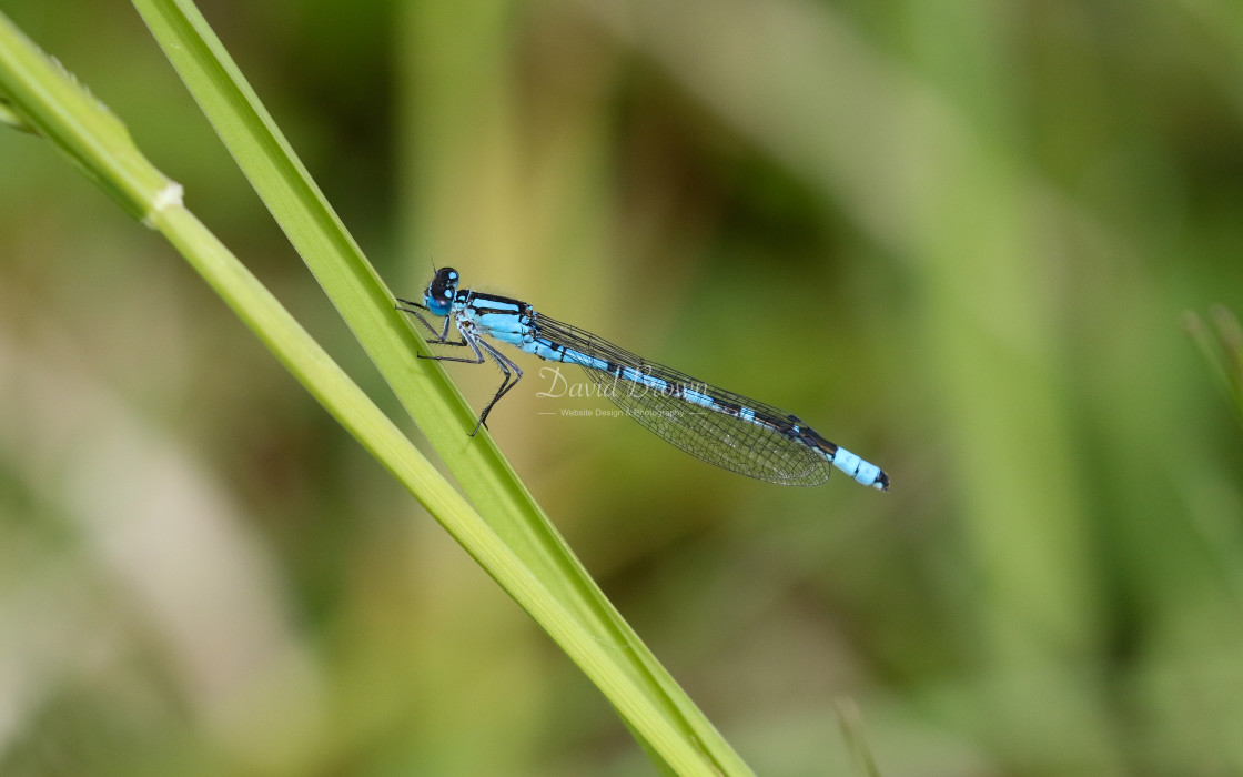 """Common Blue Damselfly"" stock image"