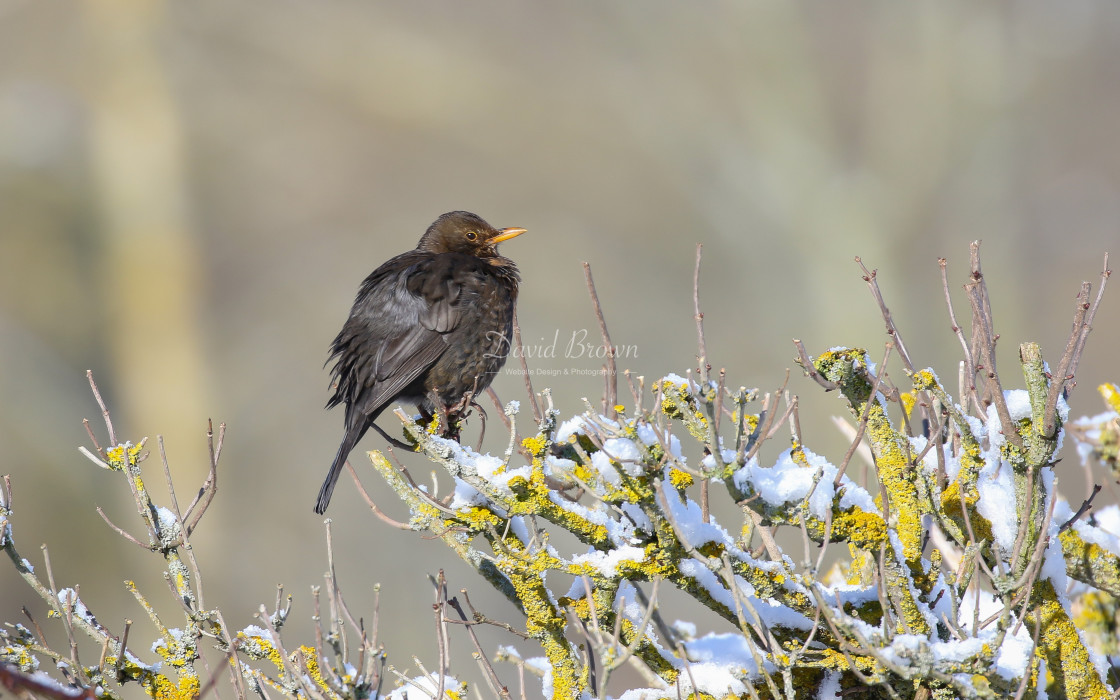 """Blackbird"" stock image"