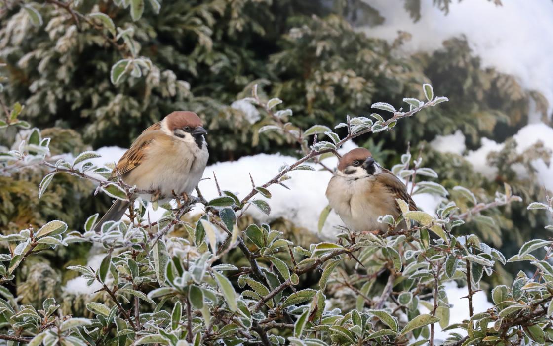 """""""Tree Sparrow"""" stock image"""