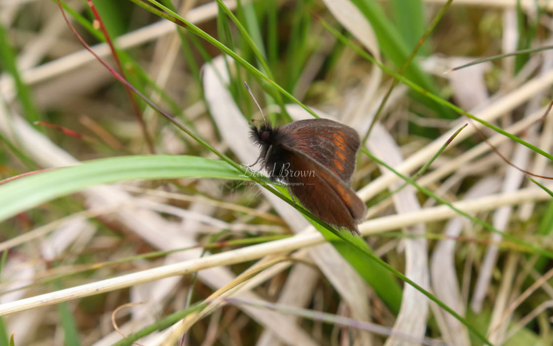"""Mountain Ringlet"" stock image"