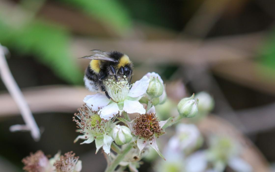 """Heath Bumble Bee"" stock image"