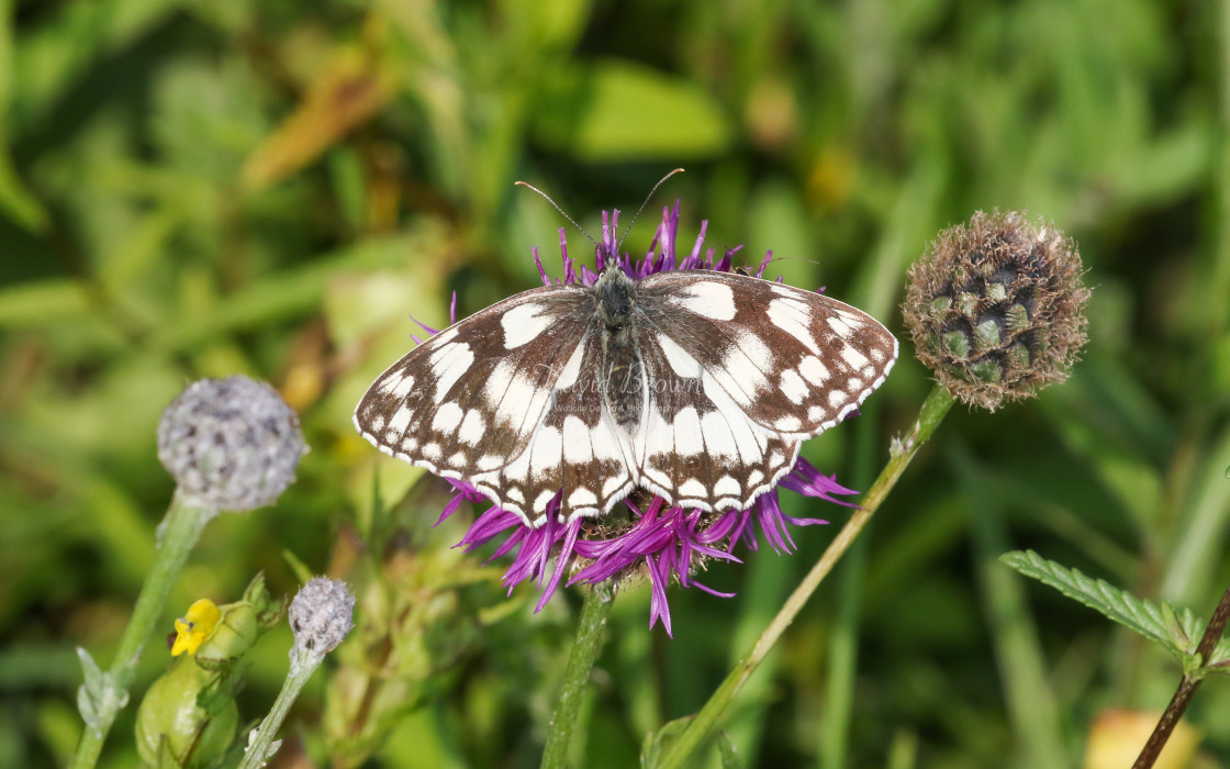 """Marbled White"" stock image"