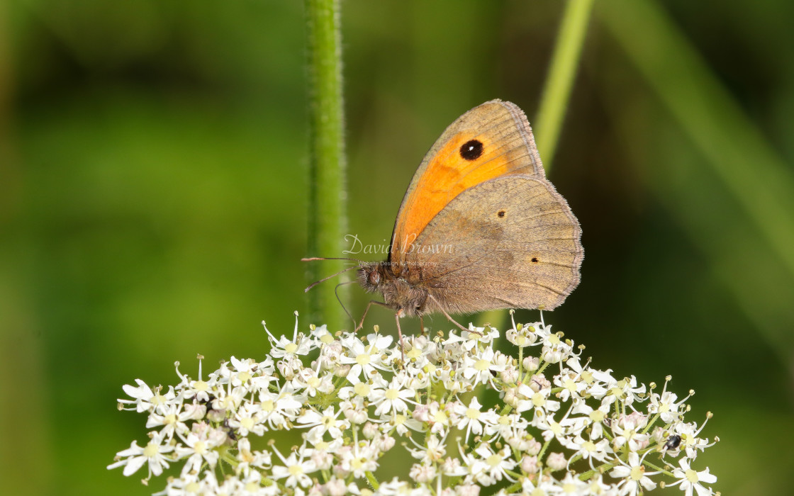 """""""Meadow Brown"""" stock image"""