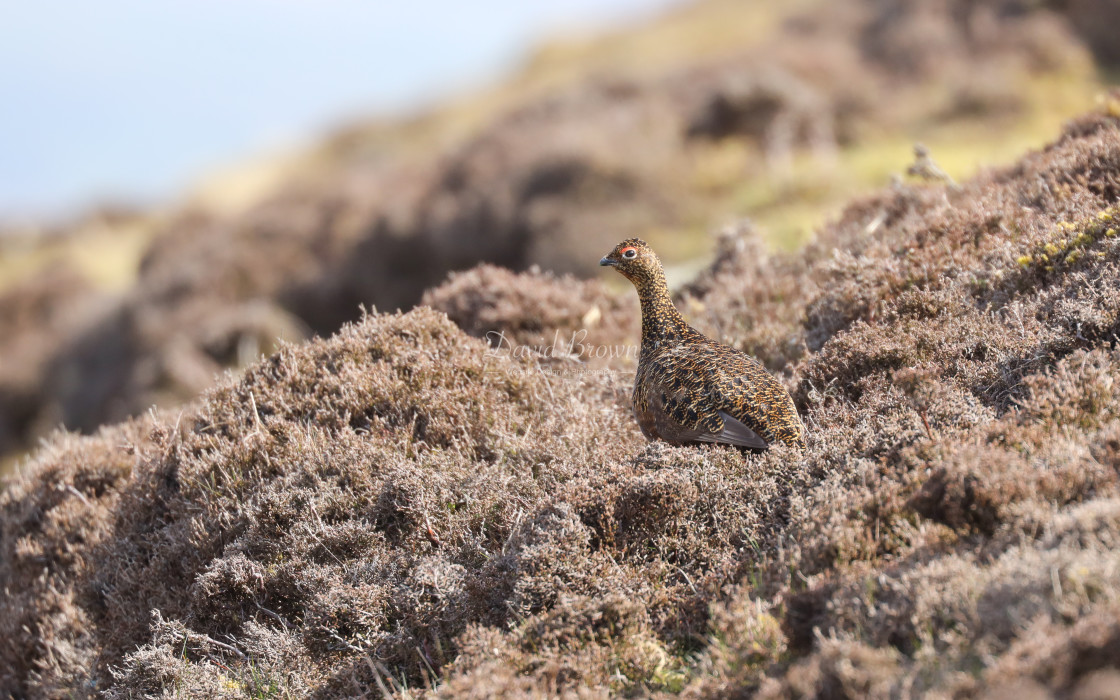 """""""Red Grouse"""" stock image"""