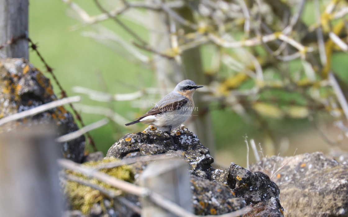 """Northern Wheatear"" stock image"
