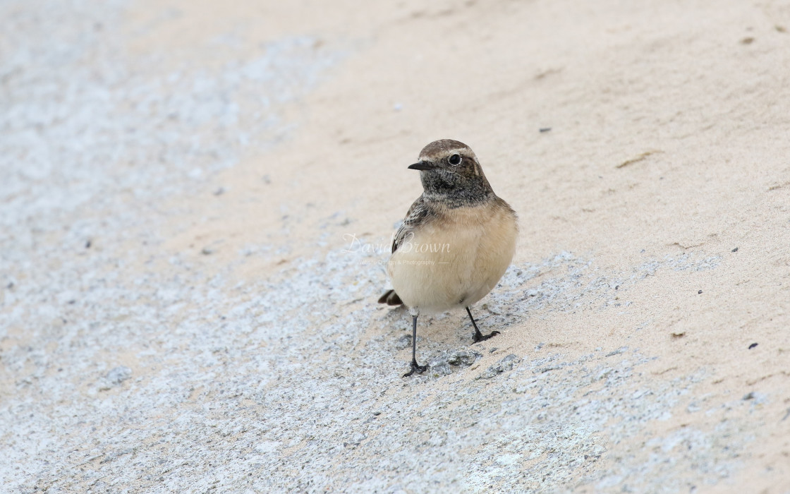 """Pied Wheatear"" stock image"