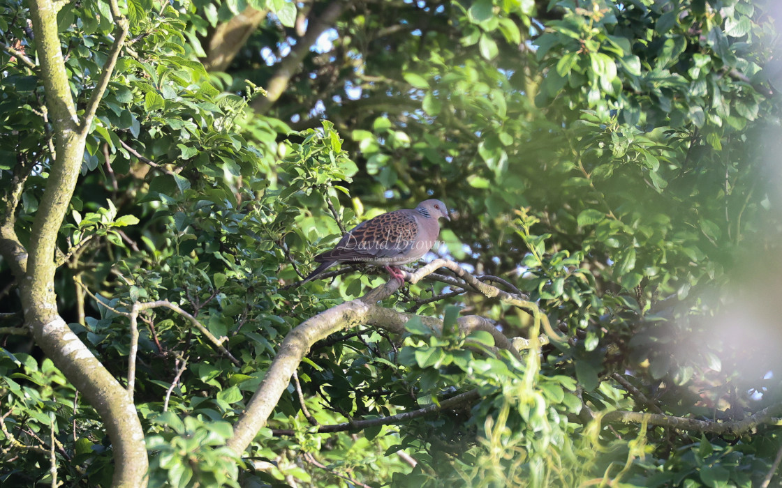 """Oriental Turtle Dove"" stock image"