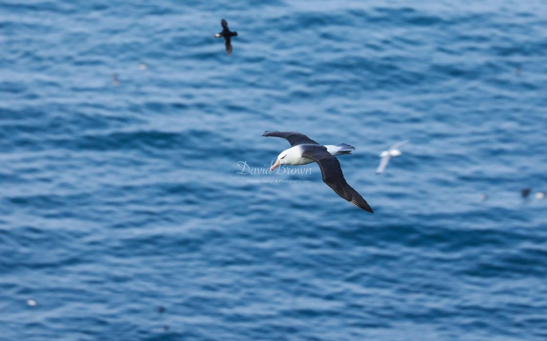 """""""Black-browed Albatross"""" stock image"""