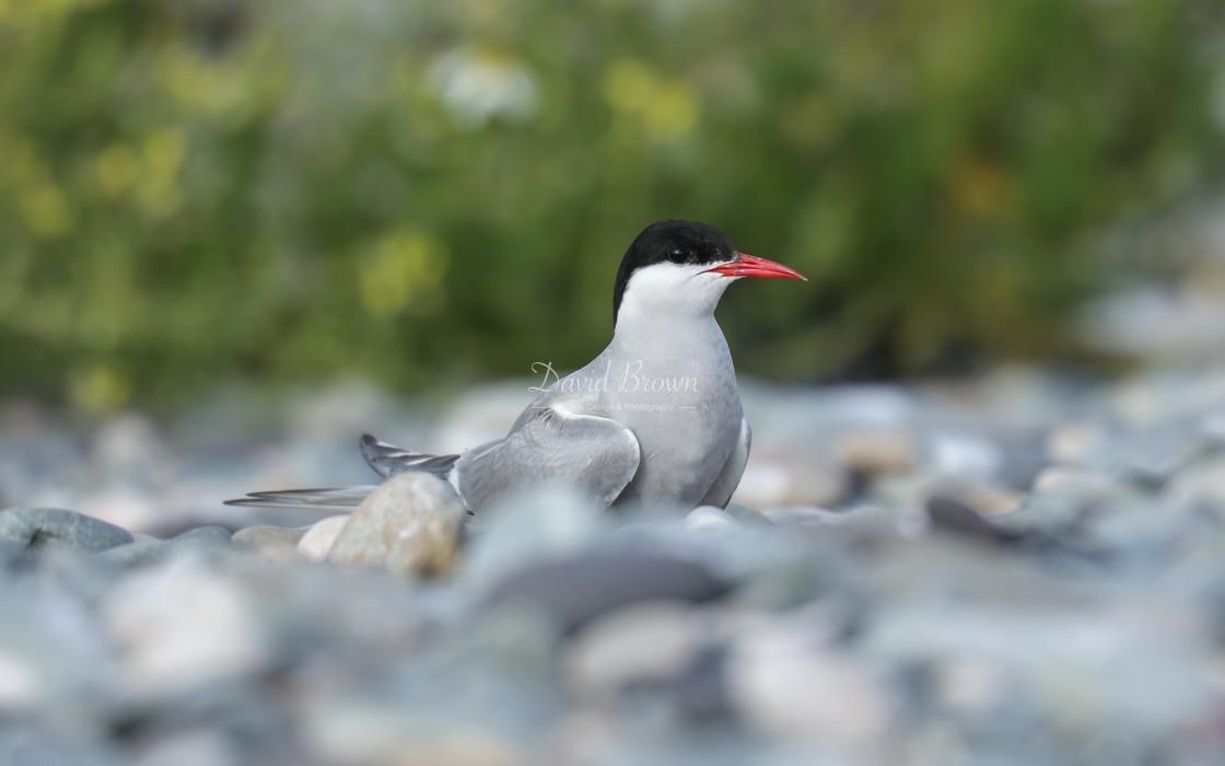 """Arctic Tern"" stock image"