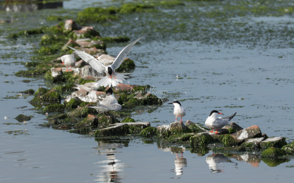 """""""Roseate Tern"""" stock image"""