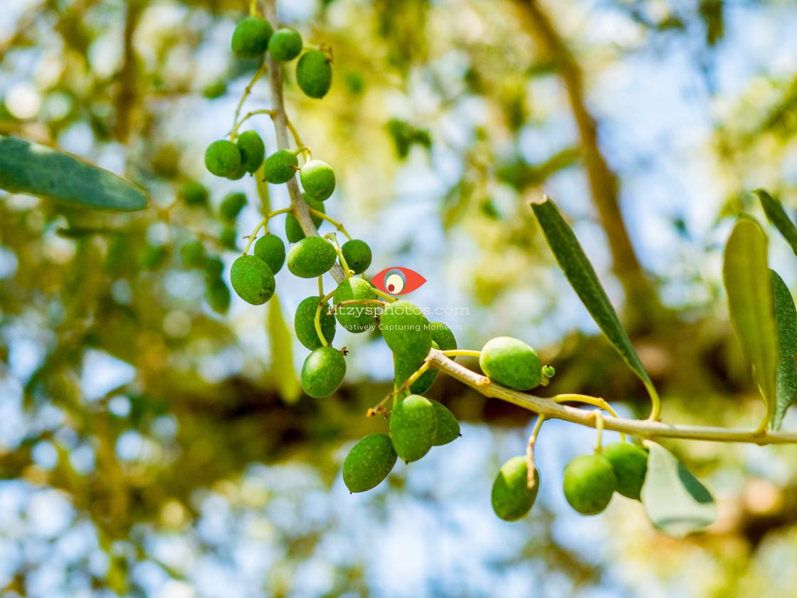 """""""Olive in progress"""" stock image"""