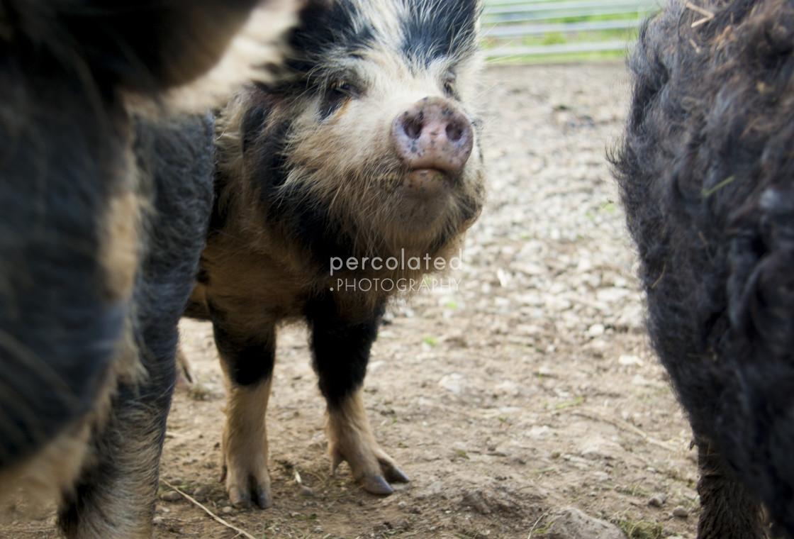 """""""Shy Kunekune Pig"""" stock image"""