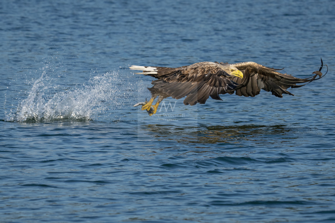 """Seeadler - White-tailed eagle"" stock image"