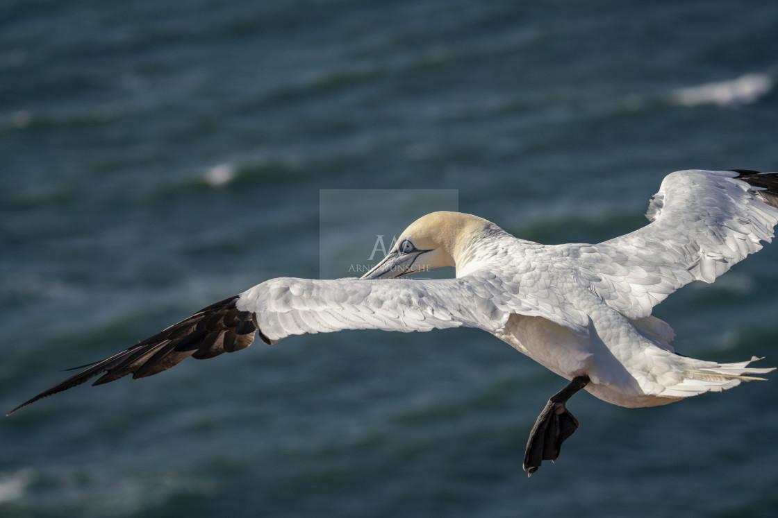 """Basstölpel - northern gannet"" stock image"