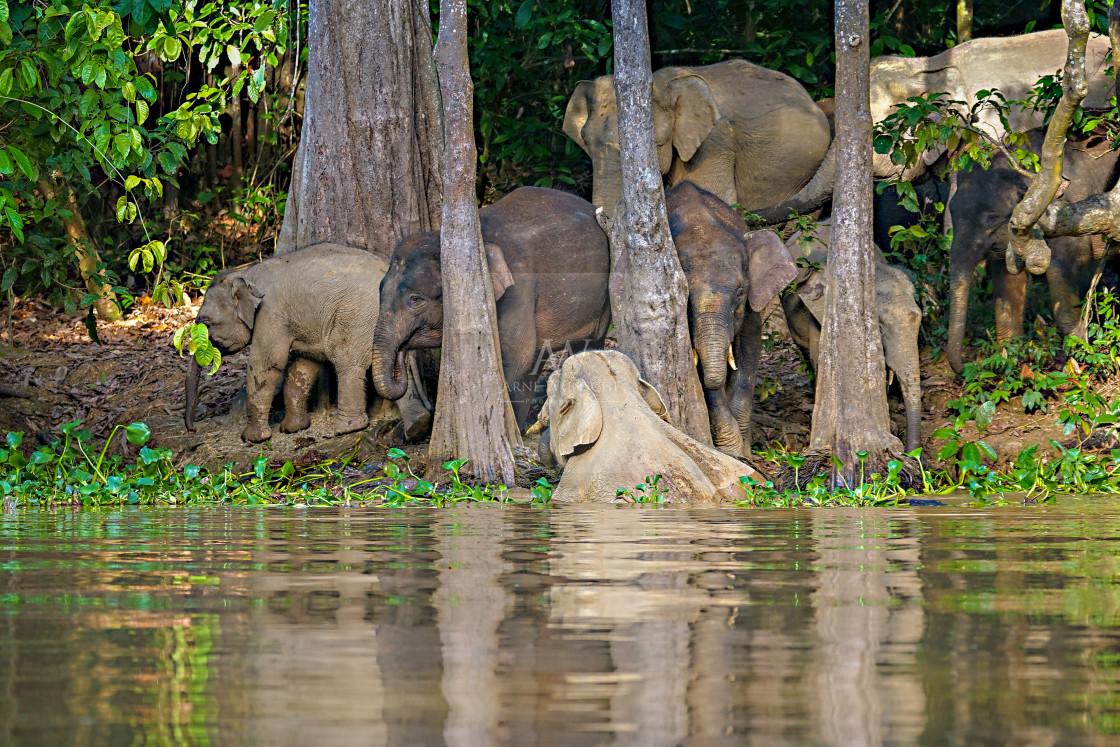 """Borneo-Zwergelefant - Borneo pygmy elephant"" stock image"