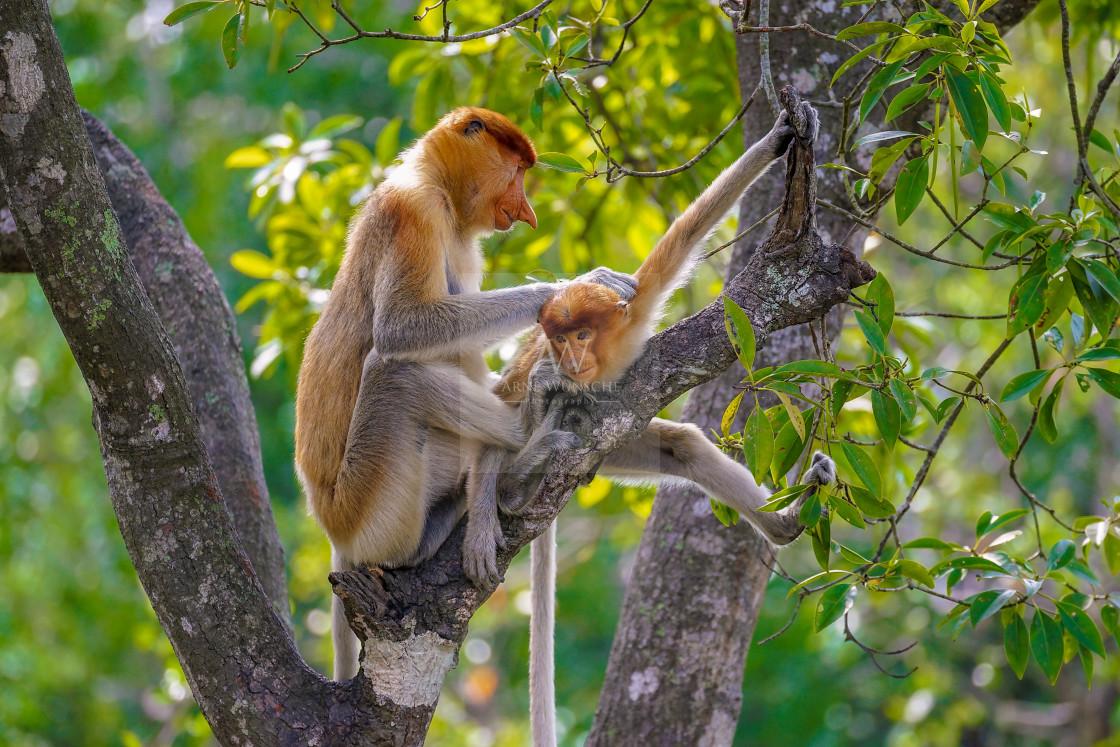 """""""Nasenaffe - proboscis monkey or long-nosed monkey"""" stock image"""