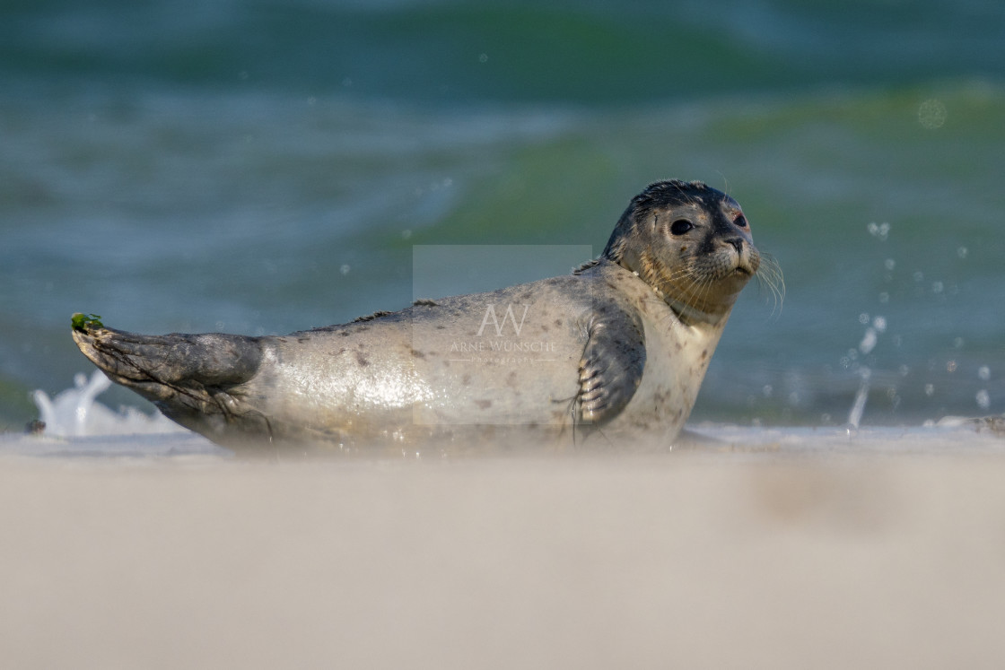 """""""Kegelrobbe juvenile - grey seal"""" stock image"""