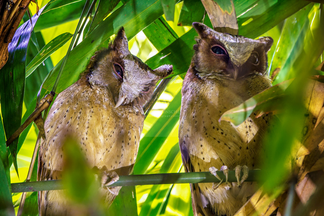 """Weißstirn-Zwergohreule - white-fronted scops owl"" stock image"
