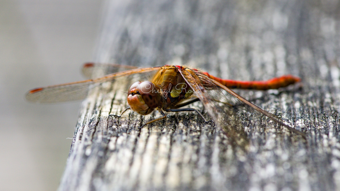 """Darter Dragonfly"" stock image"