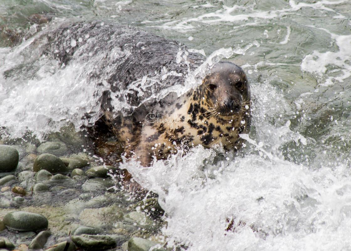 """Grey Seal"" stock image"