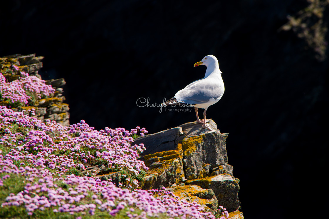 """Seagull on cliff"" stock image"