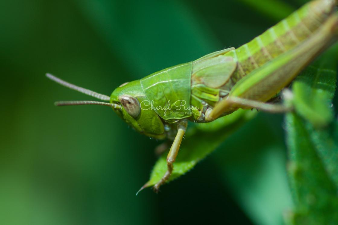 """Common Green Grasshopper"" stock image"