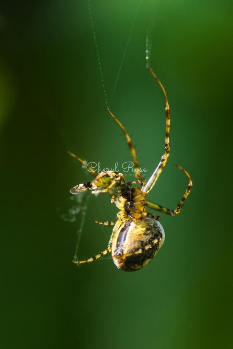 """Spider feeding"" stock image"