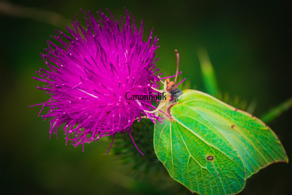 """""""Butterfly on a flower"""" stock image"""
