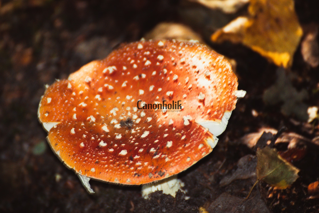 """Fly Agaric"" stock image"