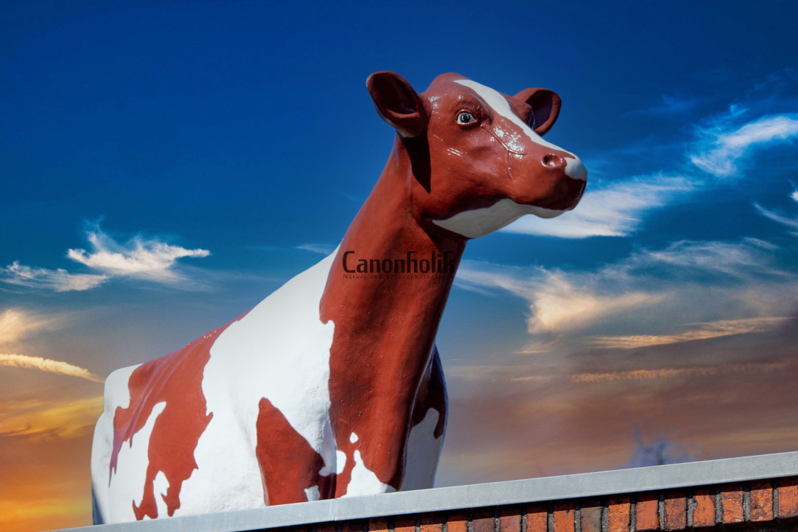 """Kuh auf dem Dach"" stock image"