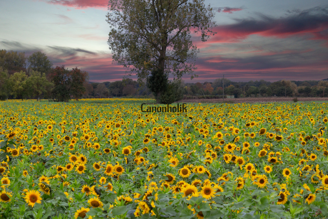 """""""Sonnenblumen in Sendenhorst"""" stock image"""