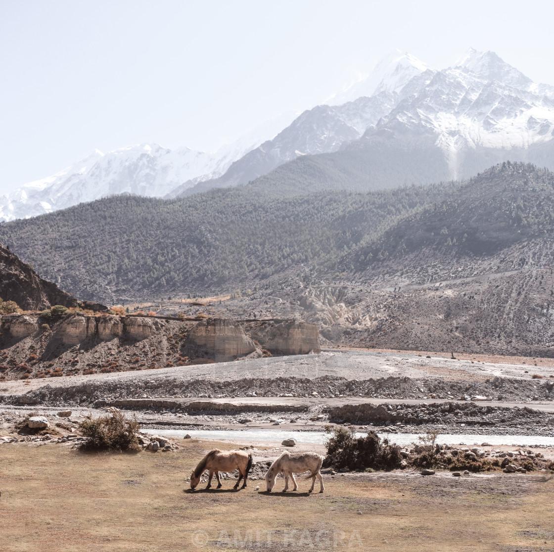 """Horse Grazing, Nepal"" stock image"