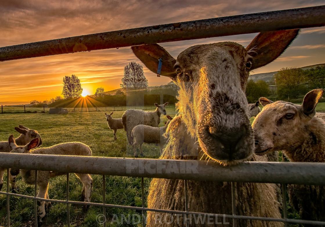 """""""Good morning to ewe!"""" stock image"""