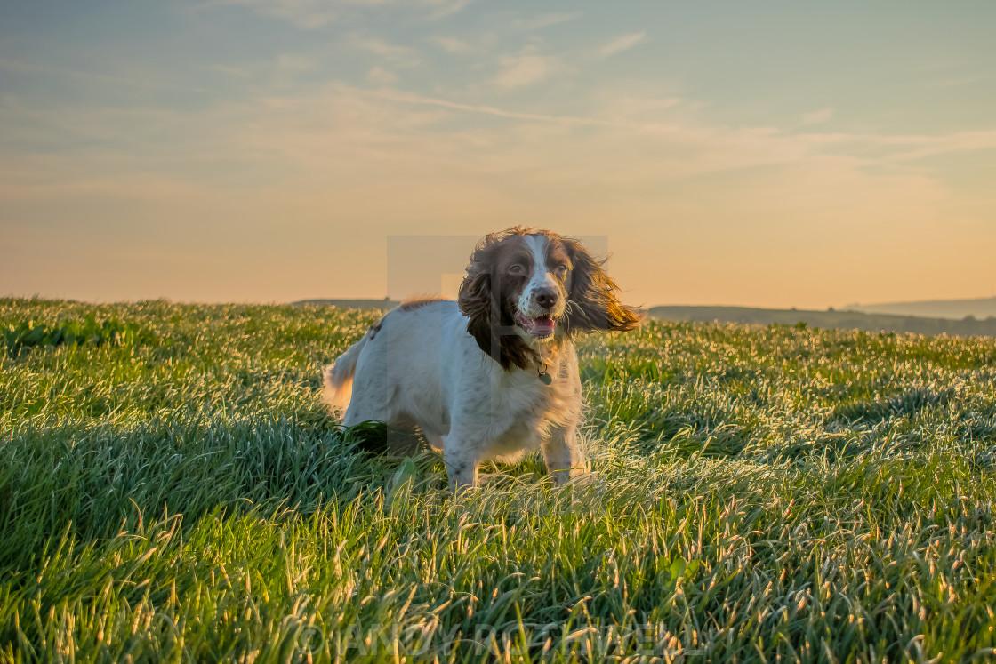"""""""Springer Spaniel sunset.."""" stock image"""